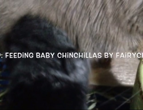 How to feed baby chinchillas